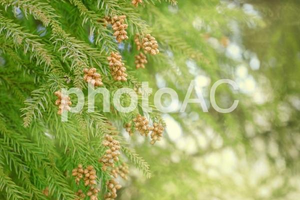 スギ花粉1の写真