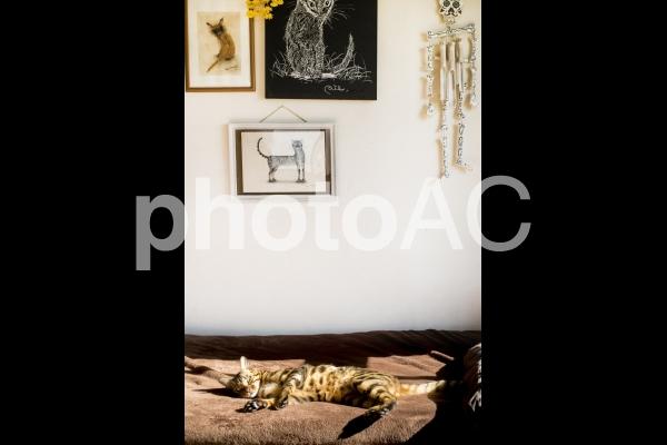ゴロゴロ日向ぼっこするベンガル猫と猫の絵の写真