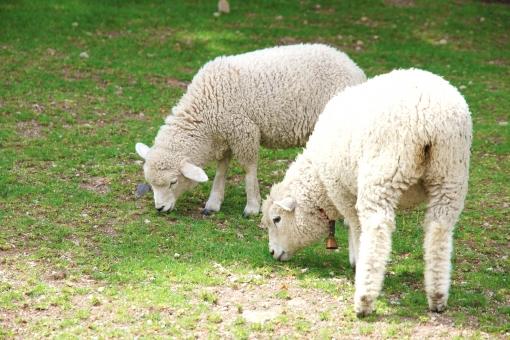 羊 仔羊 ひつじ 未 ヒツジ 生き物 動物 十二支 干支 年賀状