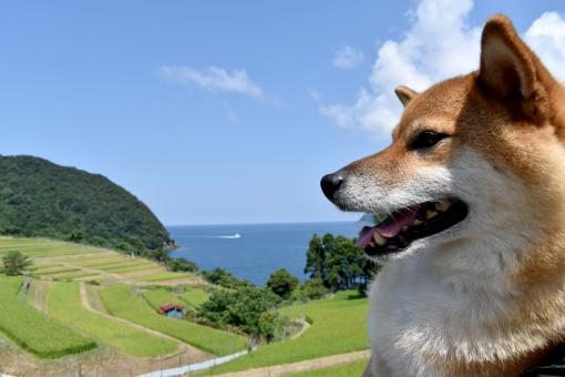 柴犬・棚田・海の写真