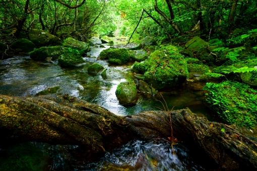 西表島のジャングルの写真
