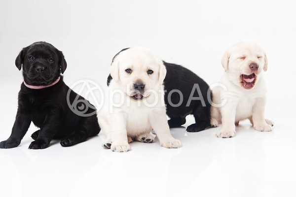 ラブラドールレトリバーの仔犬たち3の写真