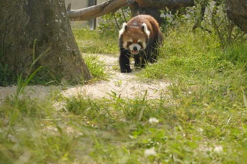 あらいぐま アライグマ 洗熊 浣熊 哺乳綱 動物 動物園 生き物 外 屋外 飼育 毛 毛並み 自然 可愛い ラスカル キャラクター 雑食動物 縞模様 丸太 茶色 脊椎動物 歩く 植物 草