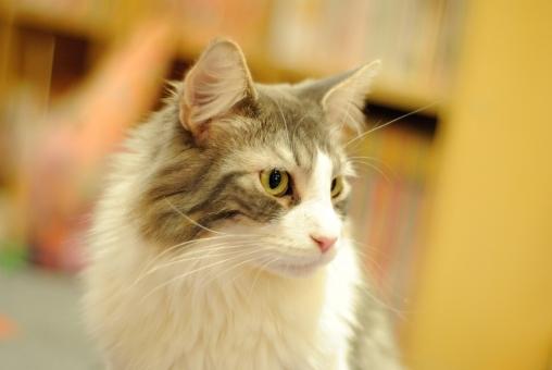 猫 見つめる 可愛い 凛々しい モフモフ