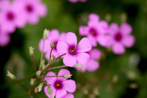 カタバミ 紫色の花 花 植物 小さい 屋外 外 庭 ガーデニング 花壇 栽培 趣味 花びら 花弁 草 アップ ぼかし 自然 野生 紫 むらさき 自生 野草 細かい 蕾 つぼみ