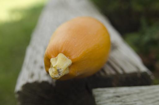 ズッキーニ ウリ科 カボチャ属 黄色 野菜 食料品 食品 食べ物 食べる 健康 フレッシュ 新鮮 自然 ダイエット 食材 農業 収穫 栄養 まるごと 実 ラタトゥイユ 瓜 イタリア料理 フランス料理 屋外 外 テラス