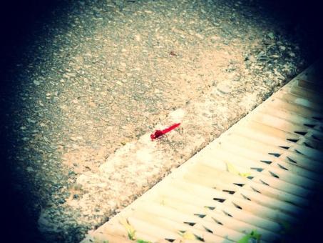 発見 虫 昆虫 トンボ 赤とんぼ 赤蜻蛉 赤トンボ 生き物 生物 道端 秋 トイフォト