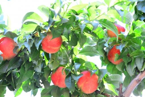 桃の実 11の写真