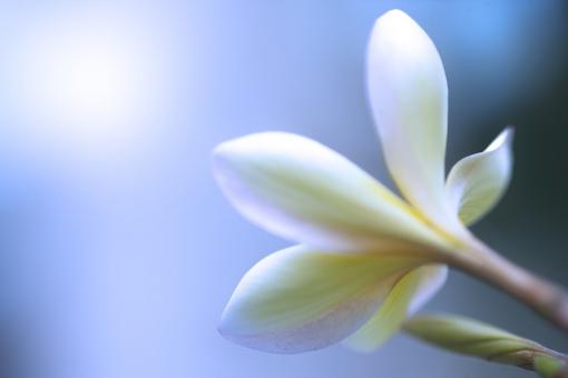 自然 植物 花 プルメリア 夏の花 夏 常夏イメージ ハワイ ハワイアン レイ 花輪 花飾り 花の首輪 旅行 休暇 花言葉・内気な乙女 花言葉・気品 トロピカル バケーション 野外アウトドア 森林 公園 ガーデン リゾートイメージ みずみずしい 背景 テクスチャー 旅の思い出 ポストカード 光溢れる 待ち受け画像 コピースペース バックスペース フラダンス 太平洋 海イメージ