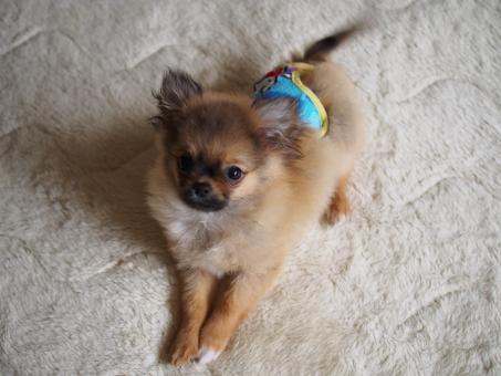 子犬 ペット 四ヶ月 おしめ サニタリーショーツ ポメチー mix犬 ポメラニアン チワワ フォーン