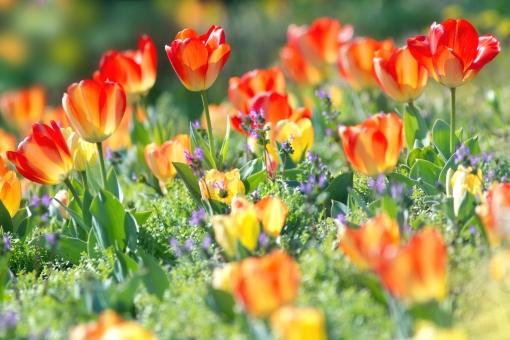 自然・風景 植物 花 チューリップ 花畑 ビタミンカラー 春 春の花 春イメージ 新緑 若葉 新芽 光を浴びて 光溢れる 光透過光 元気いっぱい 緑に囲まれて 待ち受け画面 ポストカード コピースペース 背景 野外アウトドア 野原 野山 森・林・公園 バックグランド バックスペース みずみずしい 若々しい 季節の花
