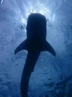ジンベエザメに関する写真写真素材なら写真ac無料フリー