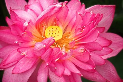 蓮の花 ハスの花 はすの花 はす 蓮 ハス 花 草花 水生植物 赤い花 夏の花 季節の花 初夏の花 花びら 花弁 植物 夏の植物 季節の植物 初夏の植物 夏 季節感 シーズンイメージ seasonimage lotusflower 夏の風景 夏の景色 夏景色 初夏の風景 初夏の景色 風物詩