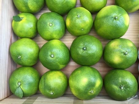 鹿児島 みかん ミカン 蜜柑 青みかん 収穫前 収穫 秋 みかんの木 フルーツ 果物 果樹園 果樹 ファーマーズ 農家 マーケット 酸っぱい 甘酸っぱい ビタミン 美容 健康