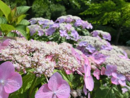 アジサイ 紫陽花 あじさい ガクアジサイ アップ 接写 マクロ 淡い 紫 ピンク 可憐 開花 見頃 木々 初夏 新緑 自然 風景 景色 華やか 日差し 植物
