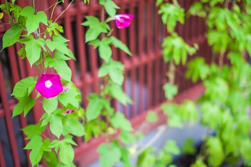 自然 植物 花 ピンク色 桃色 紫色 葉 葉っぱ 緑 朝顔 アサガオ 密集 集まる 多い 沢山 成長 育つ 伸びる 巻きつく 玄関 柵 木戸 ぼやける ピンボケ アップ 無人 室外 屋外 風景 景色 咲く 幻想的