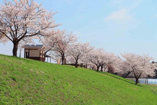 桜 さくら 緑 空 そら 河川敷 丘 土手 公衆トイレ 東屋 青 ピンク みどり 快晴 晴れ 春 はる