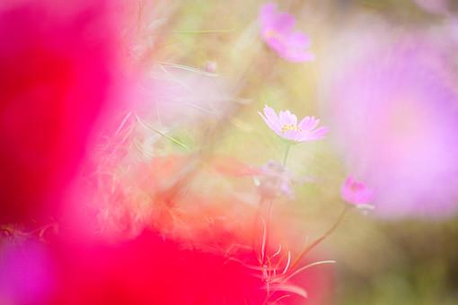 秋の風景 コスモス アキザクラ 秋桜 花畑 花園 花びら 花弁 桃色 ピンク 赤 植物 花 草花 散歩 散策 自然 風景 景色 真心 のどか 鮮やか 華やか 美しい 綺麗 明るい ボケ味 ピントぼけ ぼかし アート