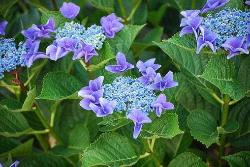 花 紫陽花 アジサイ あじさい 背景 植物 アップ 葉 紫色 さわやか バックグラウンド 季節 初夏 緑の葉 開花 咲く 梅雨 生花 6月 六月 雨季 入梅 雨期 むらさき 青 つぼみ 蕾