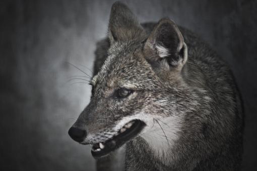 パキスタン イスラム共和国 イスラム 南アジア アジア 海外 外国 外国風景 動物 どうぶつ アニマル 動物園 観光 見学 昼間 哺乳類 横顔 アップ 壁紙 待ち受け 可愛い キュート 野外 おおかみ オオカミ 狼
