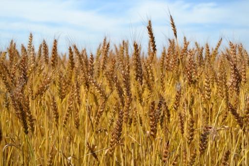 麦畑3の写真