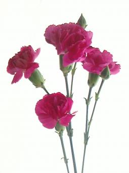 花 光 ピンク マゼンタ カーネーション ピンクの花 植物 グリーン 咲く 花びら つぼみ 母の日 感謝 プレゼント