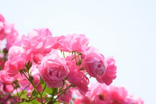 薔薇 ばら バラ ピンク ぴんく 父の日 誕生日 バレンタイン イベント パステル 満開 背景 空 晴天 晴れ 天気 コピースペース 文字スペース メッセージ 花 自然 植物 メッセージカード プレゼント ヘッダー テクスチャ テクスチャー 綺麗 明るい 余白 スペース 春 秋 花言葉 愛 美 上品 しとやか love ラブ いっぱい たくさん 沢山 ツボミ つぼみ 蕾 集まる 密集 鮮やか 葉 葉っぱ