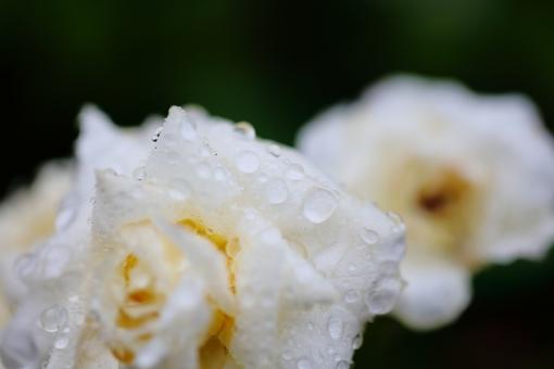 バラ 花 植物 雨 白 梅雨 ガーデニング 6月 雨期 湿度 ホワイト ローズ 香り 横位置 余白