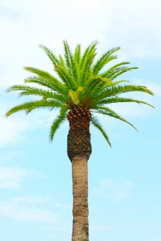 ヤシの木 ヤシ 椰子 椰子の木 夏 木 コピースペース スペース 夏休み 空 青空 リゾート バケーション シンプル 暑い 涼しげ おしゃれ お洒落 オシャレ かわいい 可愛い カワイイ 明るい 素材 画像 南の島 暑い国 異国 旅行 休暇