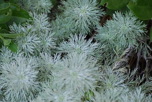 ローズマリー 香草 ハーブ 植物 野草 葉 葉っぱ アップ ガーデニング 園芸 趣味 育てる 自然 栽培 鑑賞 伸びる 育つ 成長 屋外 外 庭 緑 白っぽい緑 細い 細かい