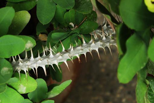棘 とげ トゲ 植物 自然 屋外 茎  葉 緑 野生 自生 アップ クローズアップ ぼかし  新芽 幹 細い 針 白 茶色 葉 葉っぱ 土 砂 伸びる