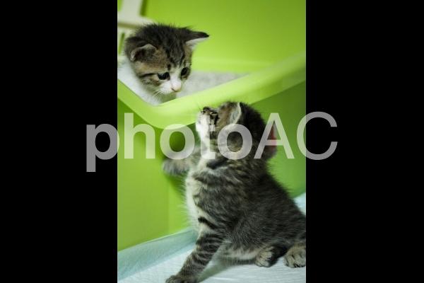 トイレ勉強中の2匹の子猫の写真