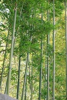 竹 竹林 植物 緑色 葉 自然 風景 屋外 晴れ 夏 初夏 新緑 複数 癒し 沢山 並ぶ 爽やか 高い 和風 見上げる 群生 日本的 青葉 木立 笹 涼 涼しげ 青々 伸びる たけ 青竹 自然美 タケ 自然林 そよぐ 七夕