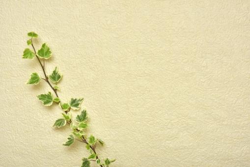 クリーム クリーム色 植物 葉 アイビー 皺 細かい皺 細かいしわ しわ 凹凸 背景 背景素材 テクスチャー テクスチャ 自然 メッセージカード コピースペース 緑 グリーン