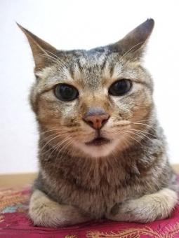 ネコ 猫 ねこ カメラ目線 ぼーっとした 座り込む クッション 顔 表情 うつろ 目を開けた 接写 アップ 見つめる 家猫 飼い猫 室内猫 ペット どうぶつ 動物 ちゃこ 冷めた顔 しらけた 興味なし 退屈