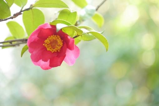 黄緑 グリーン 葉 葉っぱ 寒中見舞い カード 光 キラキラ テクスチャー 4月 庭 庭園 冬の花 赤い花 ハガキ 女性的 バックグラウンド 余白 スペース テキストスペース 紅 緑 つばき 椿 ツバキ 赤 和柄 縁起物 朱色 バック バック素材 テクスチャ 素材 背景素材 樹木 日本 木 一輪 可憐 コピースペース 暖かい 温かい 2月 3月 かわいい 癒し 壁紙 明るい 自然 植物 花びら 開花 咲く 開く アップ 室外 屋外 可愛い 綺麗 華やか 美しい 幻想的 春 背景 和風 和 年賀状素材 元旦 年賀ハガキ イメージ 1月 新春 新年 お正月 正月 花 春の花 ピンクの花 年賀状 年賀 元旦素材 冬 初春 迎春