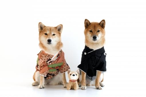 柴犬・正月・着物・袴の写真