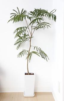 植物 観葉植物 鉢 鉢植え 葉 葉っぱ リーフ 緑 グリーン 鑑賞 インテリア 飾り 装飾 かわいい キュート おしゃれ 癒し 趣味 栽培 育てる インドアガーデニング 園芸 大きい 背の高い のびる 背景 壁 室内 白 ホワイト リビング ナチュラル