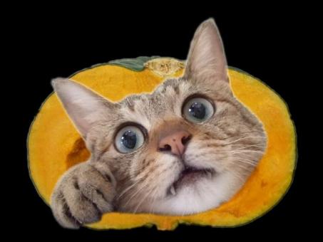 猫 ネコ ねこ 愛猫 南瓜 かぼちゃ カボチャ ハロウィン 顔 頭 猫の手 目を開けた 見開いた 背景黒 カット 鼻 アップ 首だけ 牙 きば 加工 お化け 野菜 カメラ目線 ひげ 可愛い 面白い ちゃこ おもしろい 表情