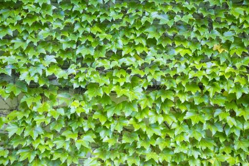 蔦 つた ツタ 壁 カベ かべ 緑 グリーン 葉 植物 素材 テクスチャ 背景 背景素材 バックグラウンド バック