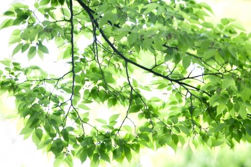 自然 風景 植物 木の葉 葉っぱ 緑の葉っぱ 新緑 若葉 季節感 森林 公園 光 光透過光 初夏イメージ 初夏 夏 暑中見舞い ポストカード 待ち受け画像 コピースペース バックスペース 野外アウトドア 木漏れ日 爽やかイメージ みずみずしい 新鮮な 目に青葉 背景