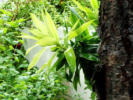自然 植物 熱帯植物 着生植物 葉 ハーブ グラウンドカバープランツ 匍匐性植物 ほふく性植物 這い性植物 はい性植物 クリーピング性植物 地被植物 観葉植物 常緑 熱帯 亜熱帯 トロピカル 熱帯雨林 熱帯降雨林 熱帯多雨林 南国 リゾート ジャングル 密林 森林 森 原始林 楽園 エキゾチック 常夏 高温多湿 着生 樹上 気根 固着