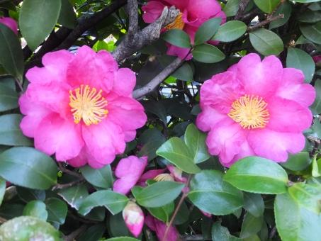 さざんか サザンカ 山茶花 庭園 イイノホール