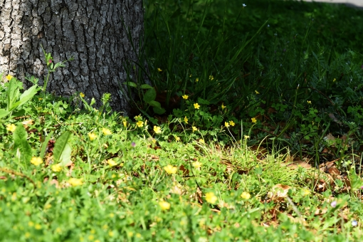 新緑 しんりょく 3月 4月 5月 6月 葉 葉っぱ 緑 黄緑 みどり きみどり 自然 綺麗 爽やか 見上げる 人気 植物 樹木 新鮮 森 林 公園 グリーン 暖かい 季節 若草色 若葉 木洩れ日 木漏れ日 こもれび 明るい 気分 最高 気持ちが良い 空気 クリーン 森林浴 背景 テクスチャ 壁紙 バックグラウンド ヒーリング リラックス 癒し マイナスイオン 初夏 リラクゼーション セラピー エコ eco アップ 接写 至近距離 小さな花 黄色い花 ミニチュア風 可愛い かわいい 花 小花 黄色 小さい 雑草 陰 かげ 影 木陰 涼しい 木 木の根元 根元 皮 春 夏 秋