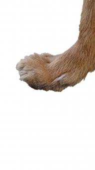 犬の足3(PSD・背景透過)の写真