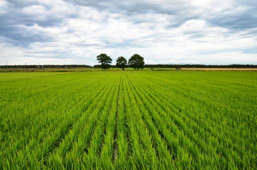 たんぼ タンボ 田んぼ あぜ道 3本の木 北海道の風景 北海道の景色 田んぼの画像 広大な景色 米 田植え
