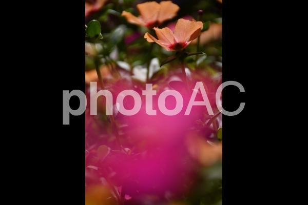 鶴見緑地(ピンク花)の写真