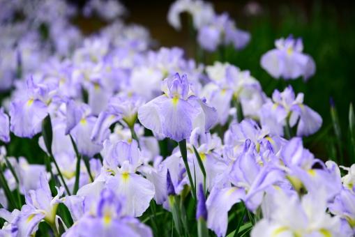 あやめ アヤメ 菖蒲 花 植物 自然 風景 薄紫 ムラサキ 新種 あやめ祭り あぜ道 小川 池 美しい 鑑賞 梅雨 季節 群生 見物 開花 手入れ 観光 親しみ 白 あやめ苑 祭り