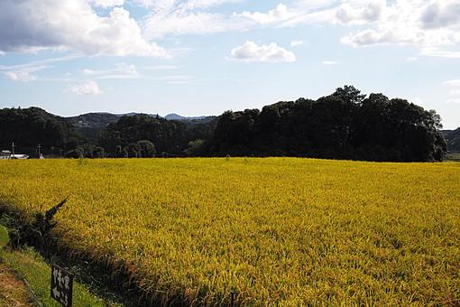 秋 稲穂 黄金 金 植物 栽培 畑 作物 農作物 農業 自然 実り 豊富 豊 環境 田舎 森 林 木 樹 樹木 景色 風景 雲 空