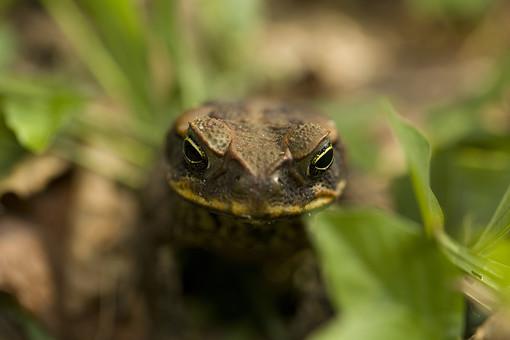 爬虫類 はちゅうるい 脊椎動物 爬虫綱 顔面 動物 生物 生き物 アップ クローズアップ 接写 自然 植物 葉 葉っぱ 野生 地面 這う 顔 トカゲ とかげ カエル かえる 蛙 カメラ目線